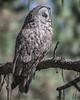 Great Gray Owl - 2