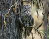 Great Gray Owl - 6