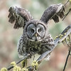 Great Gray Owl, stretching