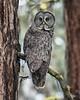 Great Gray Owl - 4