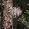 Great Gray Owl, swooping - 2