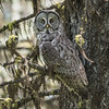 Great Gray Owl - 3