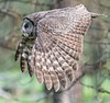 Great Gray Owl, in flight