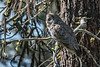 Great Gray Owl - 1