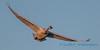 Trumpeter Swan - 9
