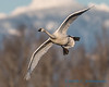 Trumpeter Swan - 14