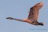 Trumpeter Swan - 11
