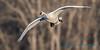 Trumpeter Swan - 16