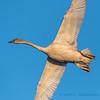 Trumpeter Swan - 8