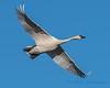 Trumpeter Swan - 12