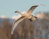 Trumpeter Swan - 18