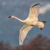 Trumpeter Swan - 19