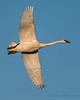 Trumpeter Swan - 7