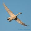 Trumpeter Swan - 6