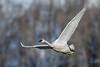 Trumpeter Swan - 2