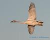 Trumpeter Swan - 17