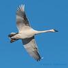 Trumpeter Swan - 13