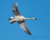 Trumpeter Swan - 1