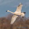 Trumpeter Swan - 15