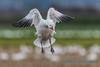 Snow Goose, landing - 1