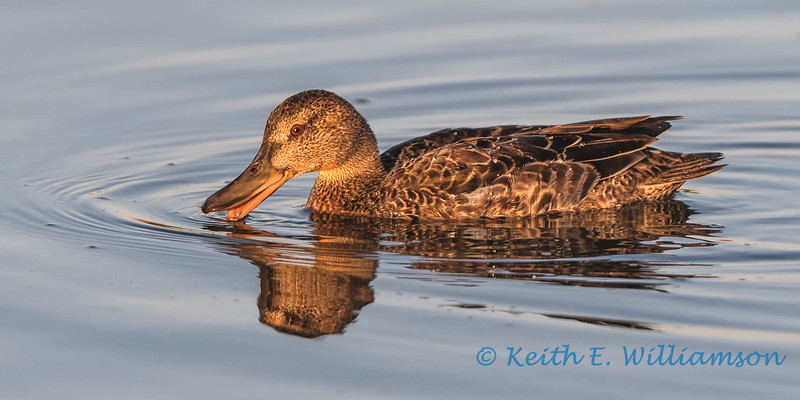 Blue winged teal, female