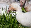 Snow Geese, fattening up, Fir Island