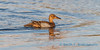 Blue winged teal, late summer