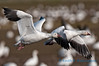 Snow geese, November 5th, 2011