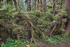 Nurse log, Hoh Rain Forest