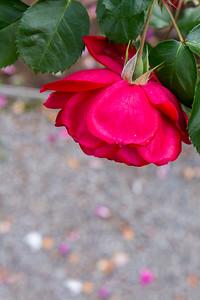 Roses at Yaddo