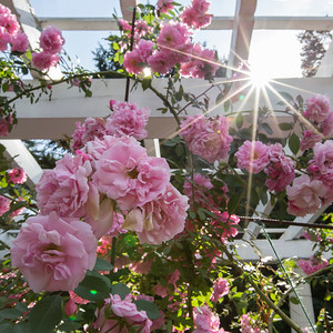 Roses at Yaddo