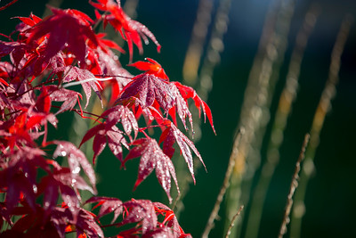 Japanese Maple with hostas