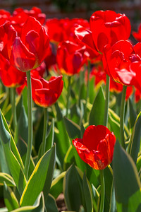 Red tulips in bloom in Saratoga
