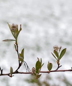 Spring buds in spring snow