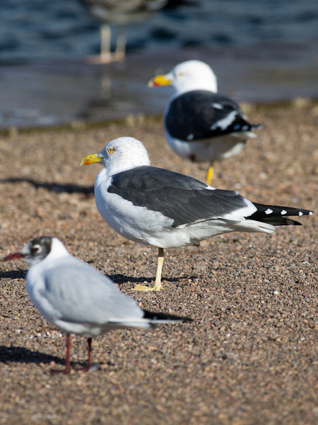 Black-headed Gull, Lesser Black-backed Gull