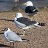 Black-headed Gull, Lesser Black-backed Gull