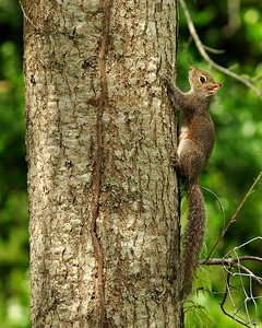 I'm up a tree. Grey Squirrel.