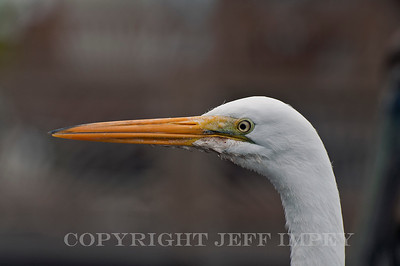 This is an Egret that hangs out at the local marina and they call him Elvis.