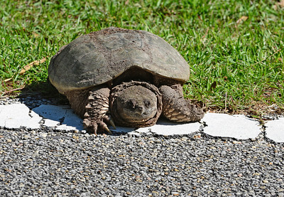 Snapping turtle. The white line on the side of the road is about 5 inches wide.