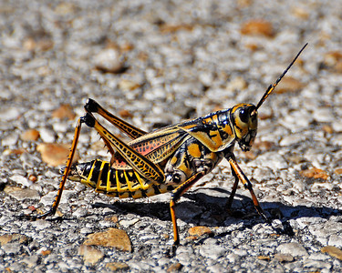 This is an Eastern Lubber grasshopper that I spotted crossing the road so I parked the car and got a shot of him. The grasshopper is about four inches long. This was taken from about eight feet away.