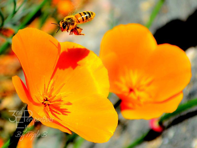 Pollinated Poppy