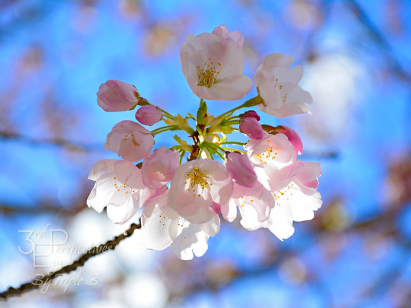 Cherry Blossom Brilliance #1 - Salem, Oregon - USA