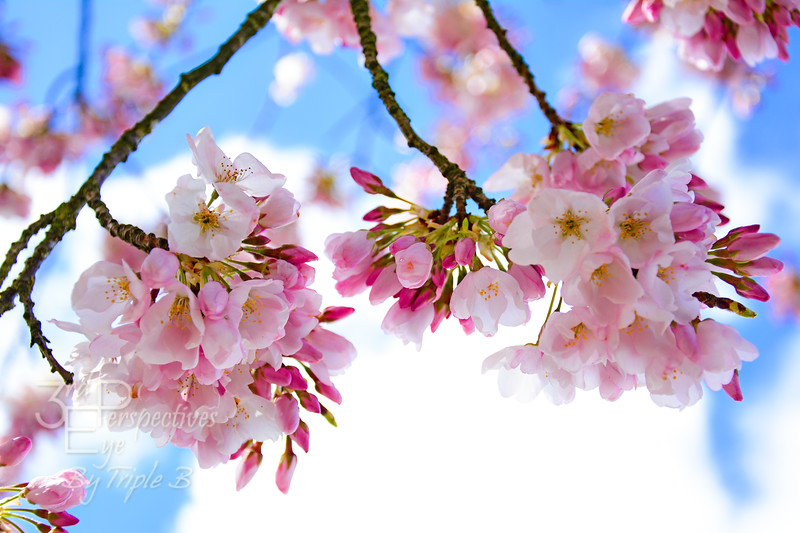 Cherry Blossom Brilliance #2 - Salem, Oregon - USA
