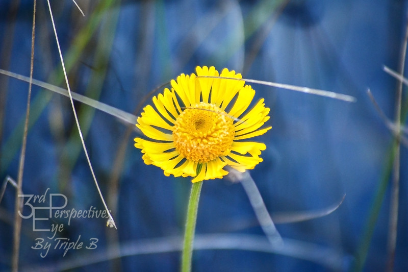 Wetland Wildflower - Everglades National Park, Florida - USA