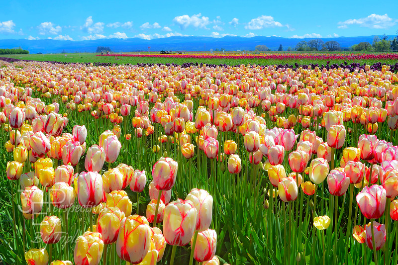 Wooden Shoe Tulip Field - Woodburn, Oregon - USA