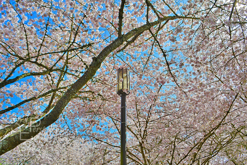 Capital City Cherry Blossoms - Salem, Oregon - USA