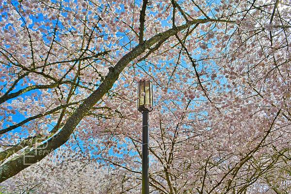 Capital City Cherry Blossoms - Salem, Oregon - USA