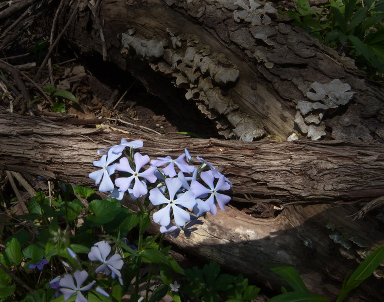 Blue Phlox, , Fort Harrison State Park, Indiana