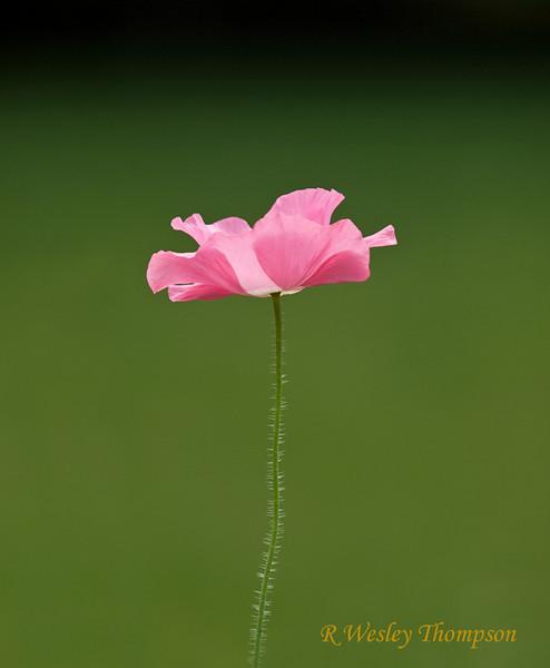Iceland Poppy, Pink