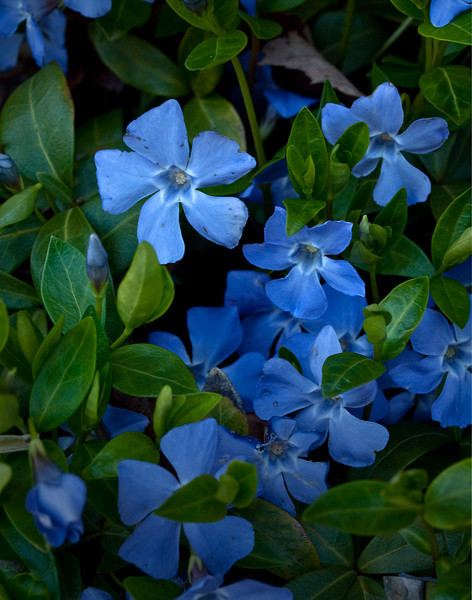Blue Periwinkle Groundcover - Vinca minor Blue